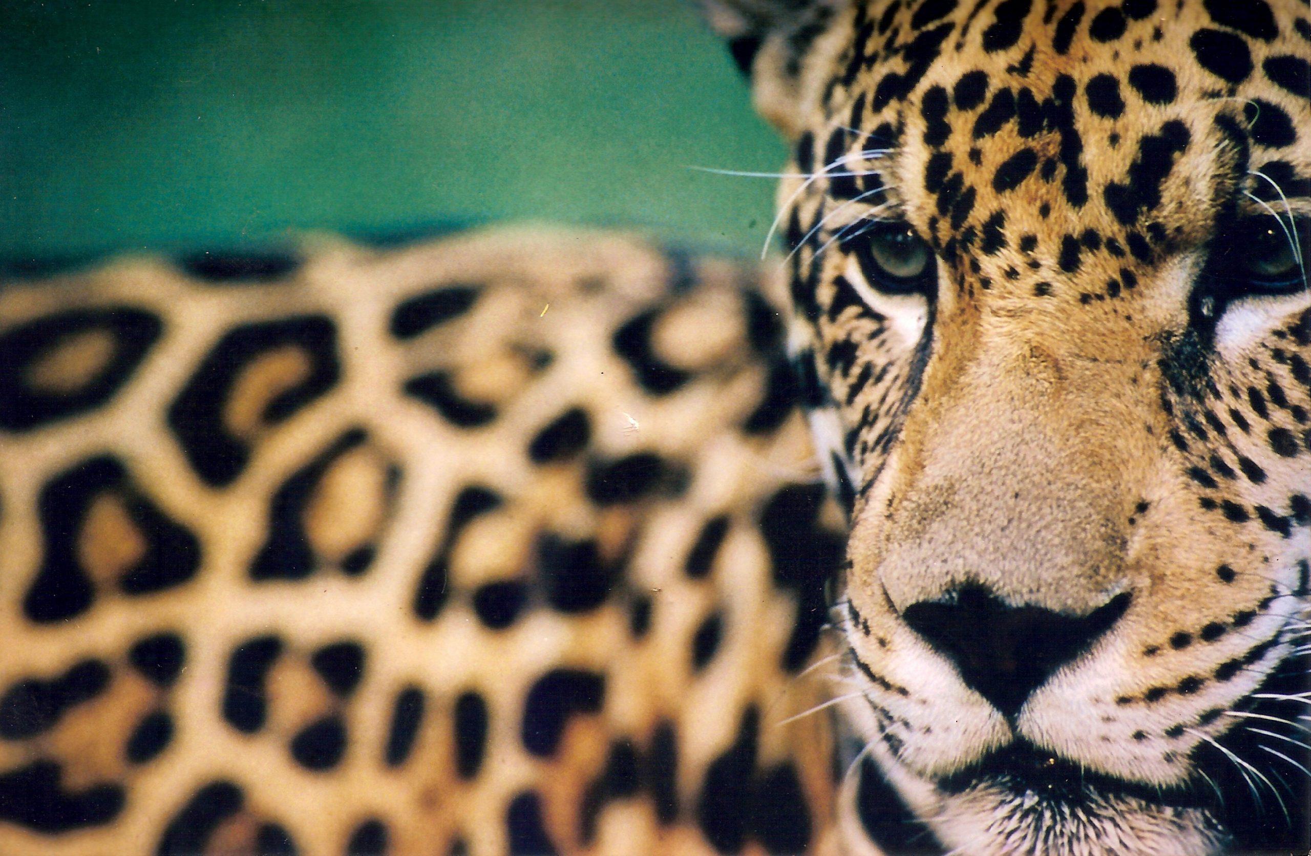 Jaguarbeobachtung im Pantanal